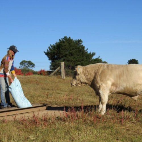 feeding the cows waterfall way farmstay